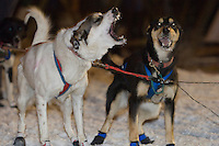 Sled dogs bark excitedly during the start of the UP 200 Sled Dog Championship race in downtown Marquette Michigan.