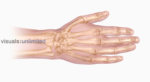 Biomedical illustration of the bones of the human hand and wrist viewed from above.