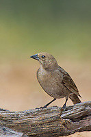 512440026 a wild female bronzed cowbird molothrus aeneus perches on a log on santa clara ranch starr county texas united states
