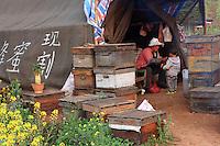 Luoping, Yunnan. Scène de vie, les apiculteurs professionnels chinois vivent pendant près de huit mois par an sous la tente près de leurs ruches. Ils transhument leurs ruches de floraison en floraison sur des camions loués. Ils travaillent en famille et produisent également de la gelée royale, du pollen de façon qu'ils vendent aux grossistes.///Luoping, Yunnan.  Daily life: professional beekeepers live for nearly eight months in tents near their hives. They migrate the hives from one flowering to another on rented trucks. They work as a family and also produce royal jelly and pollen that they sell to wholesalers.