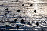 Norway, Stavanger. Mallards in sunset.