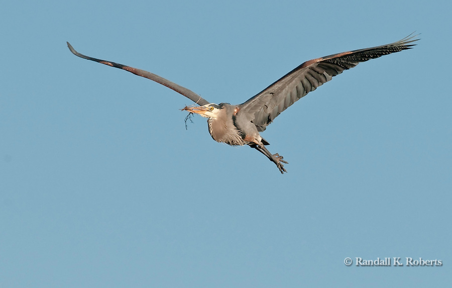 Great Blue Heron (Ardea herodias), flies back to it mate with nesting material, Colorado