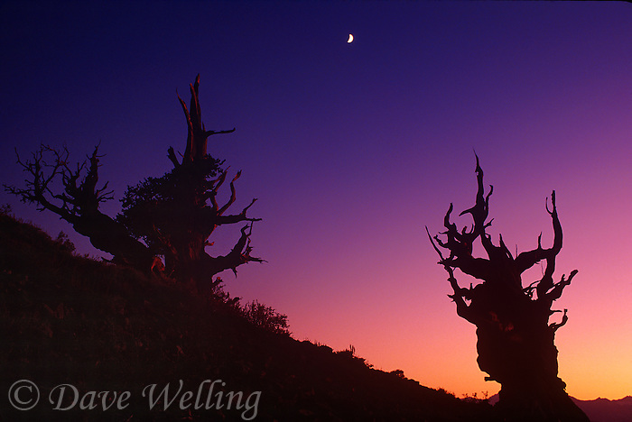 730250015 post sunset light and a rising half moon shed faint highlights on two ancient bristlecone pines pinus longeava in the bristlecone protected forest in the white mountains in kern county california