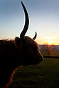 2012_02_29_highland_cattle_sunset