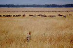 Cheetah casing wildebeest and zebra herds, Masai Mara National Reserve, Kenya