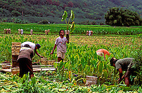 Agricultural workers harvest kalo or taro at a Hawaiian loi (taro patch) in Hanalei, Kauai. Taro is a staple of the Polynesian diet and is used in the making of poi.