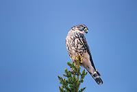 559312016 a wild female merlin falco columbarius perches at the top of a fir tree in the northwest territories of canada
