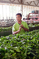 Tea leaves for wilting in factory at Sabah Tea Plantation, Ranau
