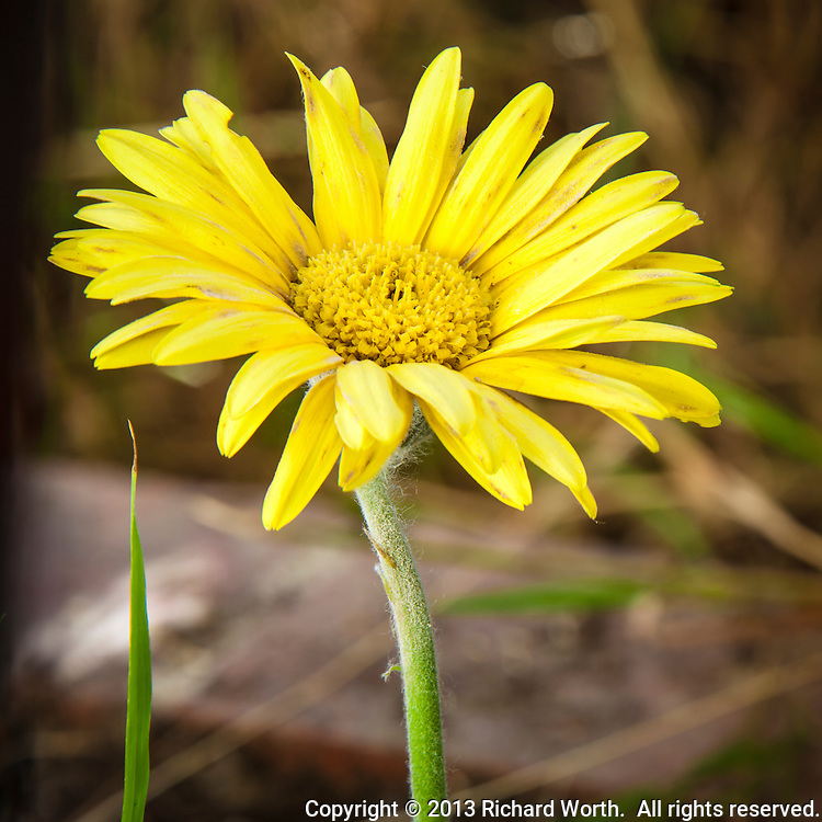 Past its prime, this yellow daisy still holds its head high, searching for the sun while, at it's center, it is building seeds - the next generation.  That stray blade of grass?   Sancho Panza.