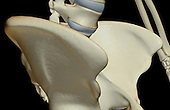 An anterolateral view of the bones of the right hip. Royalty Free