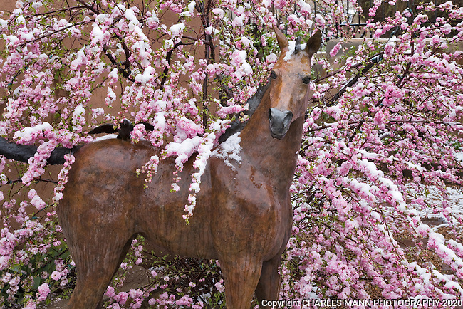A snow laden pink flowering almond, Prunus glandulosa, drapes it's bright pink blooms over a sculpture of a horse during a spring snow fall on Canyon Road in Santa Fe, New Mexico
