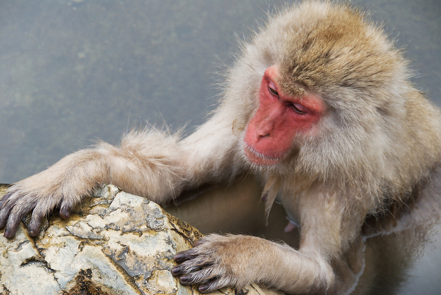 A Japanese macaque, often called a snow monkey, relaxes in the hot springs during winter, Nagano, Japna.