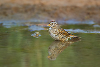 578820046 a wild lincoln's sparrow melospiza lincolnii pauses for a bath in a small pond on dos venadas ranch in starr county rio grande valley texas united states