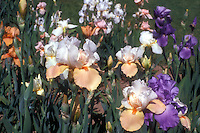 A variety of tall bearded irises in late May and early June spring, mixed colors, peach, white, purple, orange beards, blue beards