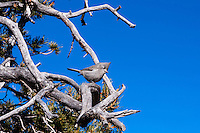United States, Arizona, Grand Canyon. Hermits Rest, the western end of Hermit Road at the West south rim of the Canyon. A Juniper Titmouse in a tree.