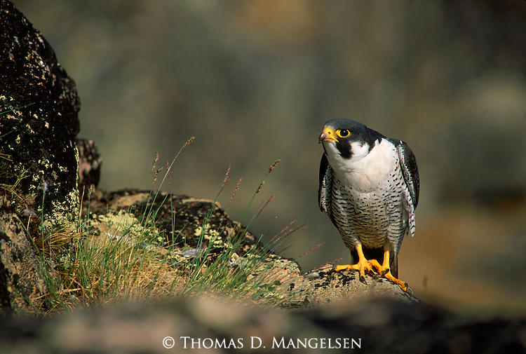 Peregrine falcon perches on rocks in Wager Bay.