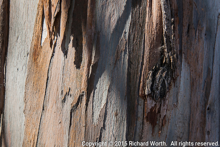 Close-up view of a eucalyptus tree, its peeling bark and a single knot.