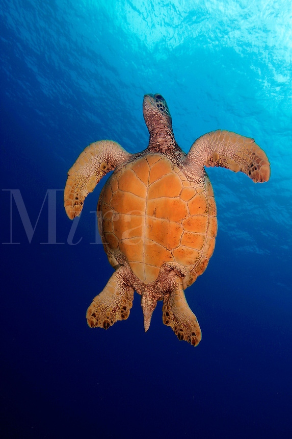 This green sea turtle [Chelonia mydas] is on it?s way to the surface for a breath of air.