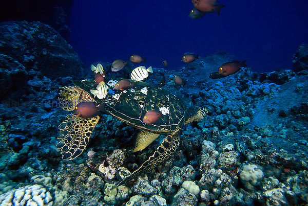 Two species of surgeonfish are working on this green sea turtle, Chelonia mydas, to remove growth from its shell. Hawaii.