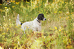 Brittany Spaniel pointing in field