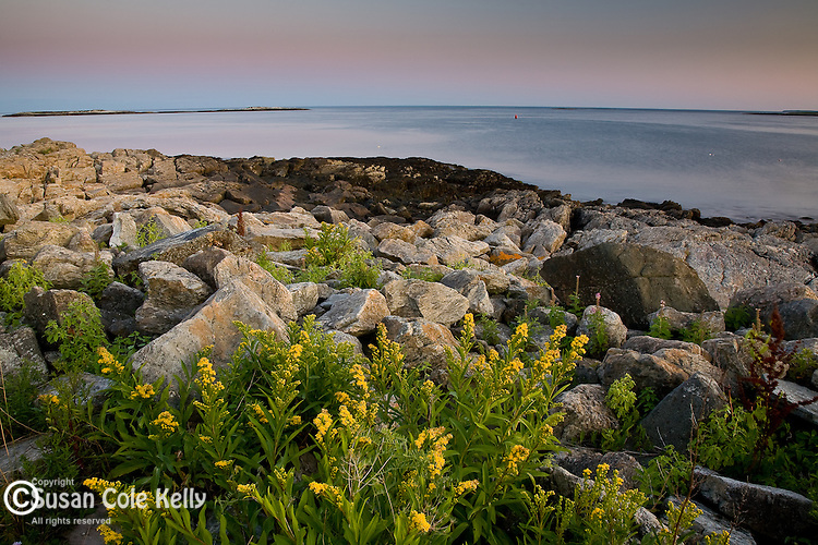 Seaside goldenrod at Marshall Point, Port Clyde, ME, USA