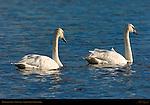 Trumpeter Swans, Swan Lake, Yellowstone National Park, Wyoming