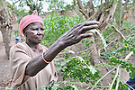 Kisaka Mutombo harvests moringa leaves from a tree in her yard in Kamina, Democratic Republic of the Congo. The Moringa (moringa oleifera) is an exceptionally nutritious tree with a variety of uses. It has the potential to improve nutrition, boost food security, foster rural development and support sustainable landcare. In the Congo, the United Methodist Committee on Relief (UMCOR) promotes the cultivation and use of moringa. Mutombo is one of the program beneficiaries...
