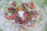 Juvenile Firebugs (Pyrrhocoris apterus) feeding on seeds of a thistle. Pont-du-Chateau, Auvergne, France.