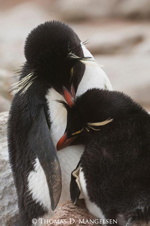 Two rockhopper penguins cuddle together on West Point Island, in the Falkland Islands.