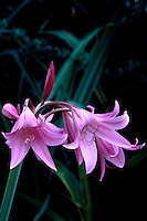 Full blooms and bud of Crinum x powellii, Cape Lily, mid-September in the Southern Hemisphere section of Van Dusen Botanical Garden, Vancouver, BC