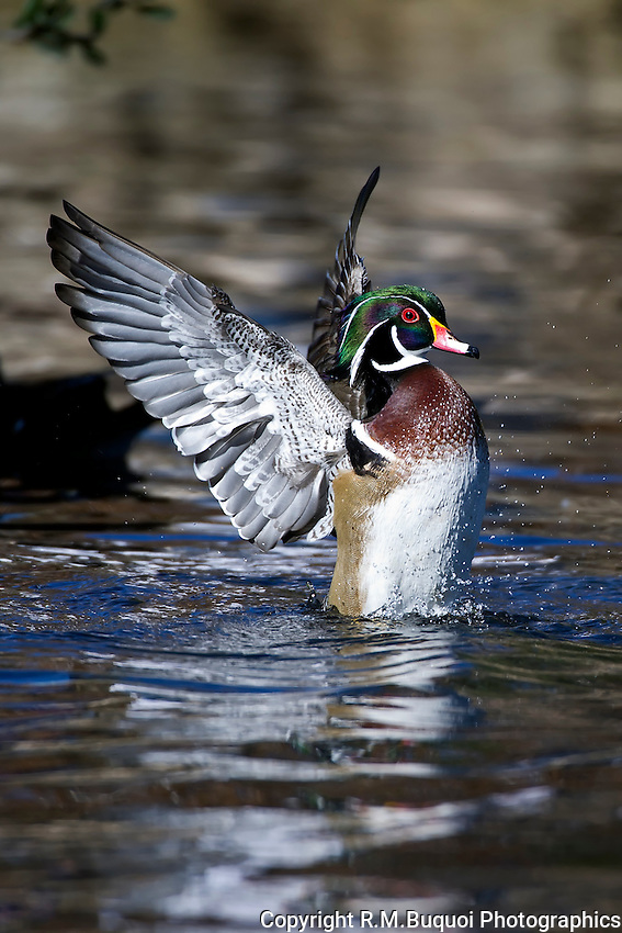 Wood Duck stretching with wings swept back