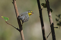 The Canada Warbler is a little-studied species that typically breeds in cool, moist forests of the United States and Canada. A long annual migration takes it to its wintering grounds in northern South America, where habitat loss is a threat.<br /> A small warbler at 13 cm length.