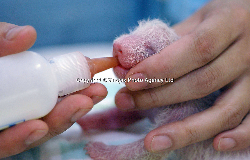 A Five days old panda is bottle-fed in China.  Panda breeding is a success in China...Photo by Richard Jones / sinopix