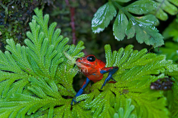 Wild Blue-jeans Frog or Strawberry poison frog or Strawberry poison-dart frog (Oophaga pumilio).  Found from Northeastern Nicaragua south to Panama in lowland tropical rainforests. This photo taken in Costa Rica.