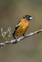 538660006 a wild male black-headed grosbeak pheucticus melanocephalus perches on a small pine bough near the madera grasslands outside green valley arizona united states in madera canyon green valley arizona united states