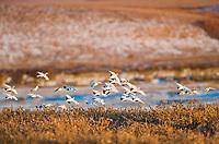 Willow ptarmigan flock in flight over arctic tundra, Alaska.