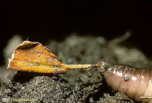 1Y01-056t  Earthworm - nightcrawler mouth pulling leaf to burrow - Lumbricus terrestris
