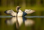 Finnish Summer Birds