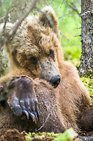 Brown bear in forest, Katmai National Park, Alaska