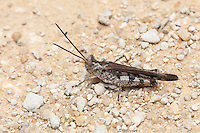 A Long-horned Grasshopper (Psinidia fenestralis) perches in the middle of a sandy road in Ocala National Forest.