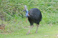 Southern Cassowary (Casuarius casuarius) female, Wet Tropics World Heritage National Park, Queensland, Australia