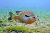Redbreast Sunfish, Underwater