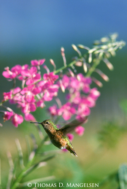A calliope hummingbird hovers near a fireweed plant in Grand Teton National Park.
