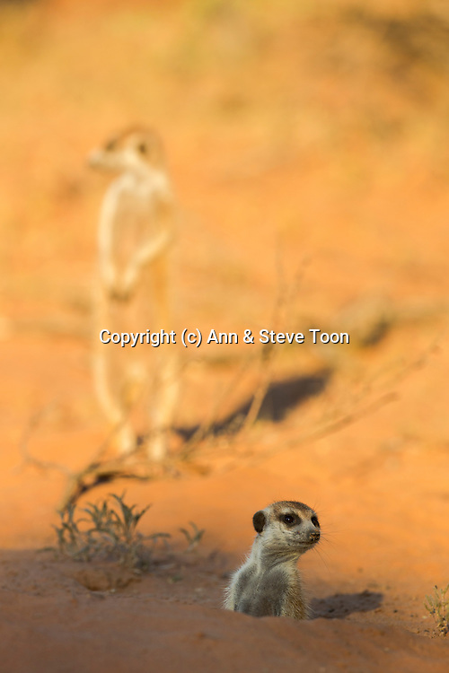 Meerkat (Suricata suricatta), looking out of burrow at first light, Kgalagadi Transfrontier Park, Northern Cape, South Africa, January 2013