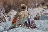 A juvenile kea parrot displaying its coat of rainbow feathers.  Mount Aspiring National Park, New Zealand