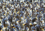 King penguin rookery, Macquarie Island, Australia