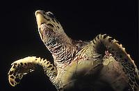Underneath a Hawksbill turtle<br /> at night<br /> Virgin Islands