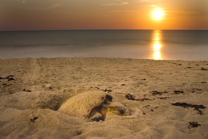 The rising moon appears like the sun in this long-exposure of a loggerhead sea turtle nesting near midnight at the Archie Carr National Wildlife Refuge near Melbourne Beach. According to Dr. Llewellyn &quot;Doc&quot; Ehrhart, for loggerheads, it is arguably the best nesting beach on the entire rim of the Atlantic Ocean in part due to the protection is receives from development.