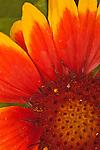 Close-up of blanketflower in the Arizona-Sonora Desert Museum