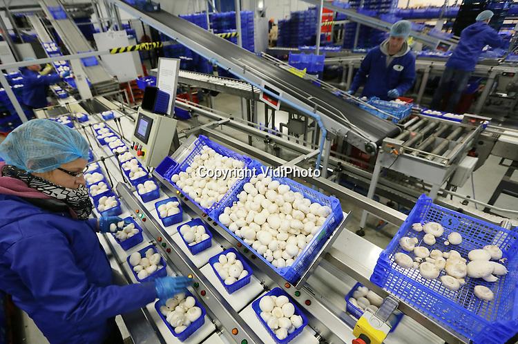 Foto: VidiPhoto<br /> <br /> WIJCHEN - Verwerking, exterieur en portret van Banken Champignons in Wijchen. Banken is zowel een productie- als een handelsbedrijf. Zo'n 70 procent van de champignons en paddestoelen wordt geleverd door telers in binnen- en buitenland. Banken Champignons verhandeld zo'n 40 soorten paddestoelen en champignons.